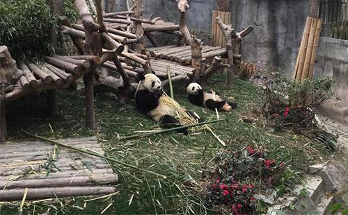 成都熊猫基地有什么好玩的 成都熊猫基地游记