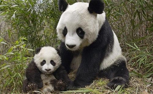 成都大熊猫繁育研究基地门票多少钱2018