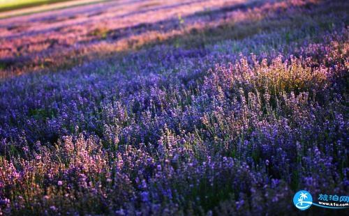 哪里有薰衣草花海 最美的薰衣草在哪