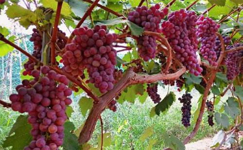 广州可以摘葡萄的地方2018