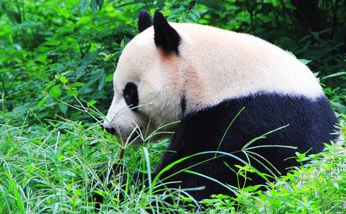 成都大熊猫繁育研究基地攻略