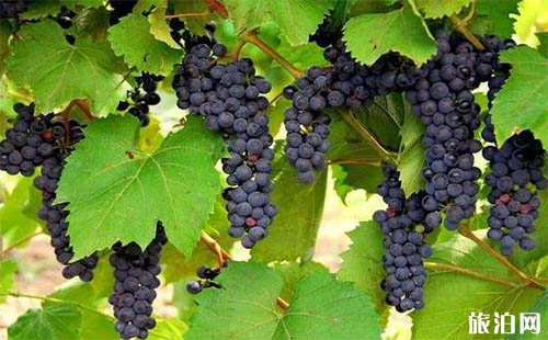 郑州哪里可以摘葡萄 郑州摘葡萄的地方