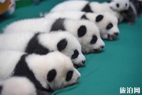 成都大熊猫繁育研究基地免费开放时间+门票预约攻略