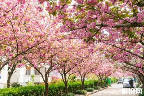 武汉东湖樱花谢了吗2019 武汉东湖樱花节是什么时候