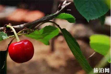 灵珠山周边樱桃采摘地 附灵珠山交通攻略