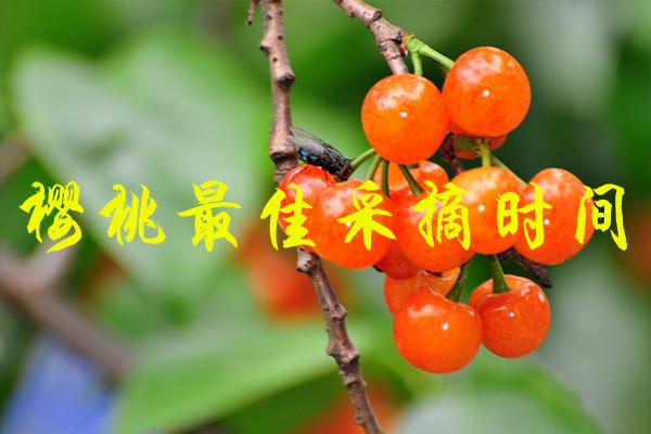 樱桃最佳采摘时间 国内樱桃采摘在几月份