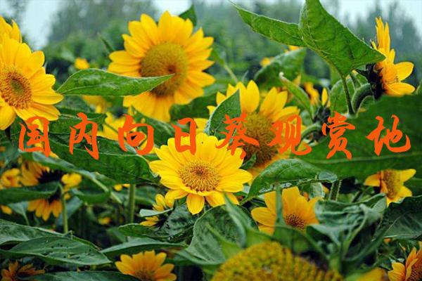 国内向日葵观赏地 向日葵花期是几月