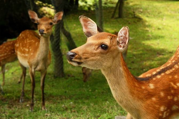 日本奈良小鹿在哪里 日本奈良鹿介绍