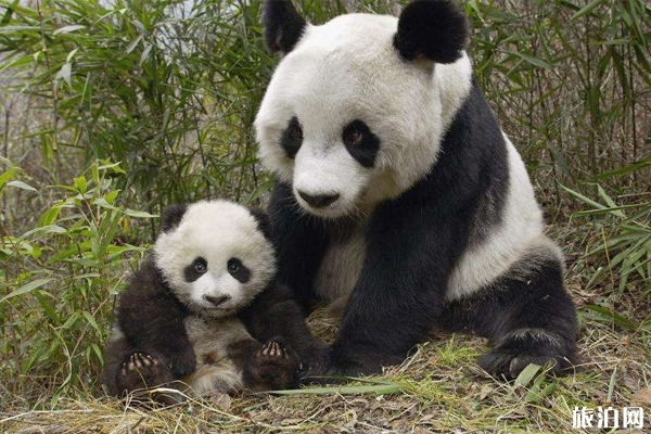 2019成都大熊猫繁育研究基地门票优惠政策 成都熊猫基地的熊猫什么时候出来活动